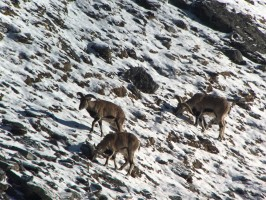 5e-reperage-blue-sheep-chasse-nepal-ovini-expeditions.jpg
