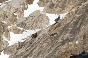 IBEX_ROCHER-ovini-expeditions.JPG