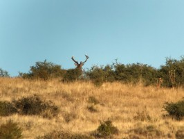 c-brame-argentine-cerf-chasse-ovini-expeditions.jpg