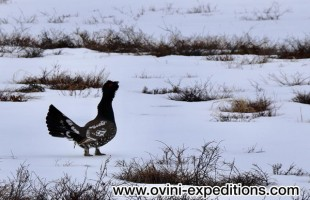 d-4b-4-b-ovini-expeditions-Kamtchatka-chasse-extreme-ours-grand-coq.jpg