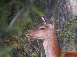 m-chasse-argentine-cerf-brame-ovini-expeditions.jpg