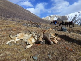 ovini-expeditions-chasse-kirghizstan-2-loups-au-tableau.jpg
