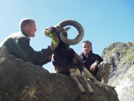 ovini-expeditions-mouflon-chasse.JPG