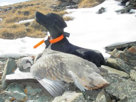 ovini-expeditions-pointer-tetraogalle.jpg