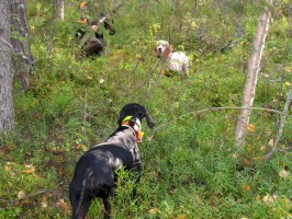 ovini-expeditions-travail-des-chiens-suede.jpg