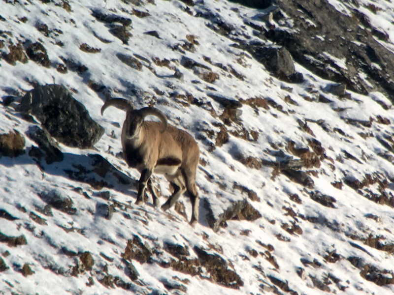 3b blue sheep nepal chasse ovini expeditions