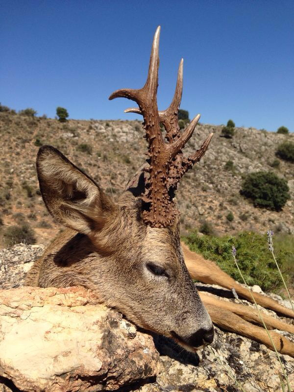 ovini expeditions chasse chevreuil espagne
